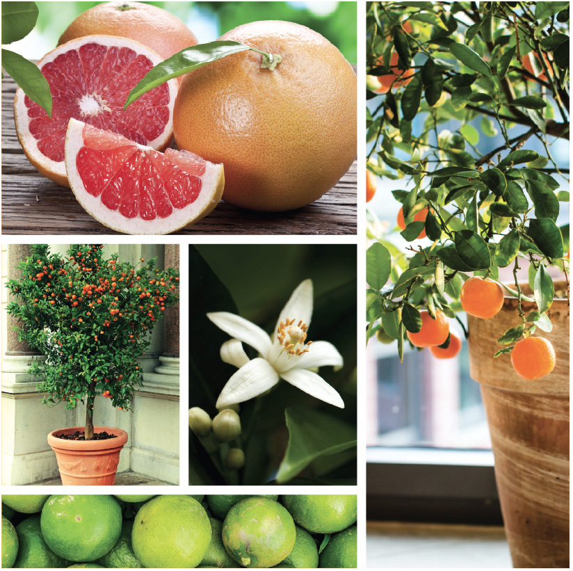 Sweet on Citrus Gardening